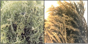 Beragam Jenis Rumput Laut Kelompok I Rhodophyceae I Jasuda Net